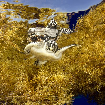 baby sea turtle swimming in seaweed shutterstock