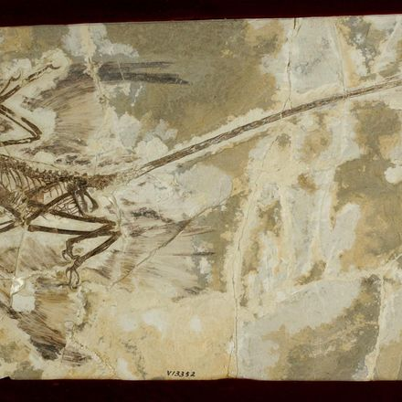 A winged raptor fossil