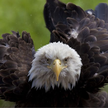 bald eagle in your face shutterstock 81592825