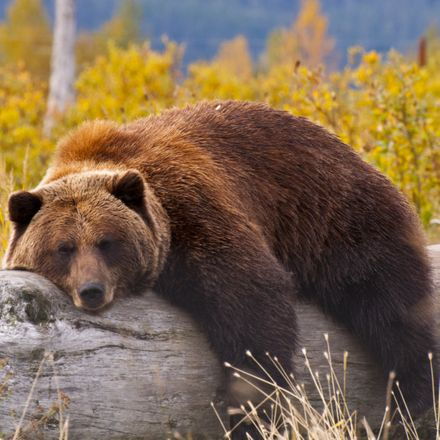 grizzly bear relaxing on log shutterstock 144478324