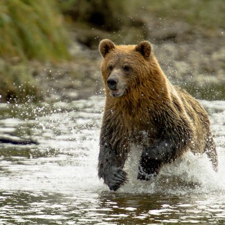 grizzly shutterstock 546562111