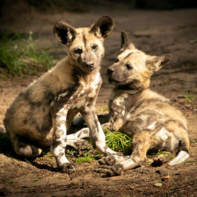 The Group Saving Africa's Stunning Painted Dogs