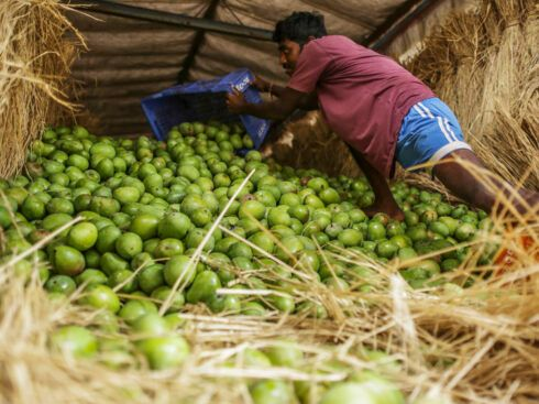 The Colonial Past of the King of Mangoes